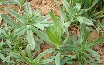 【鲁西南植物】面条菜(麦瓶草)