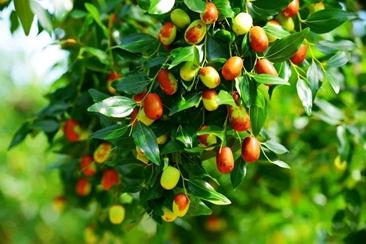 【鲁西南记忆】家里的老枣树