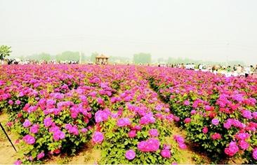 盛世玫瑰开 花海迎客来——中国·定陶第四届玫瑰风情节掠影