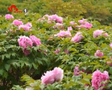 各大牡丹园区开门迎客 首波赏花高峰到来