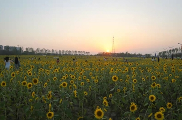菏泽这片向日葵网红打卡地,醉美的风景!