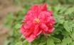 花中之王:牡丹花的品种