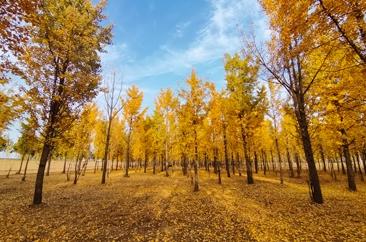 黄河岸边秋色美