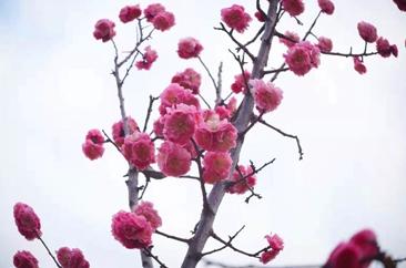 春来梅花开,俏也不争春